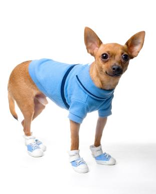 Chihuahua Wearing Shoes